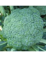 Sementes de Brócolos Calabrese Natalino