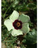 Sementes de Flor-de-todas-as-horas