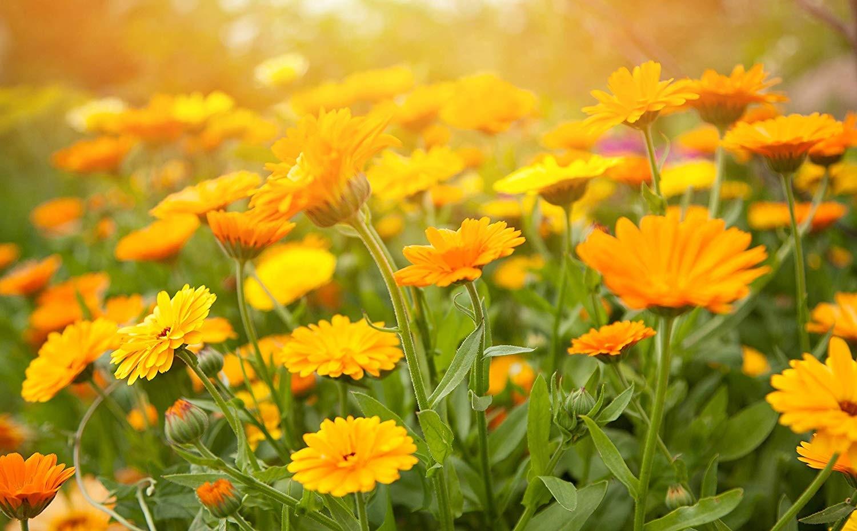 Calêndula, Planta medicinal